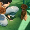 わたしの愛犬トイプードル☆